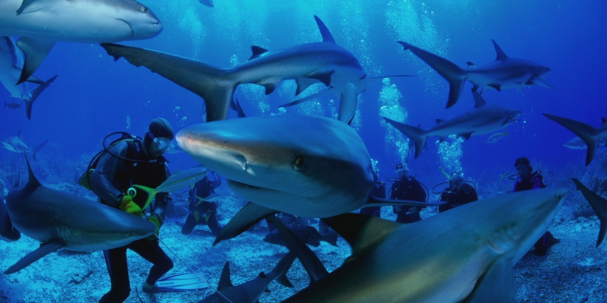 Scuba Divers and Sharks